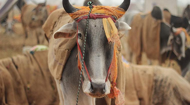 cow slaughter, himachal pradesh cow slaughter, गौहत्या
