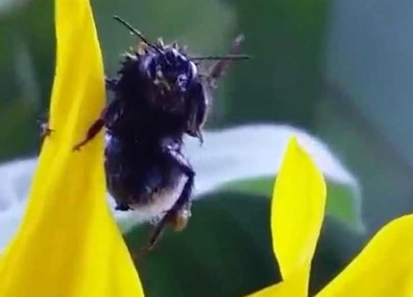bumblebee, bumblebee video viral, bumblebee waves man, viral on facebook New Zealand man saved insect, bucket, water, Trayez, Dylan Jermaine Trayez,
