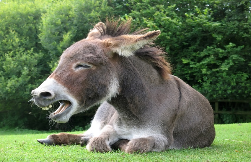 donkey-laughing-rep-dreamstime