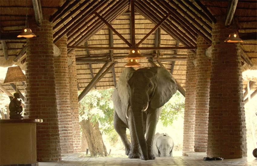 Africa, Zambia, mfuwe lodge, elephant, mango feast, Elephant Safari