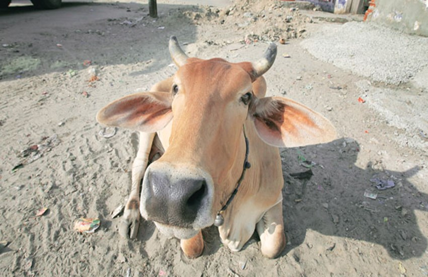 Cow, Cow slaughter, INDIA