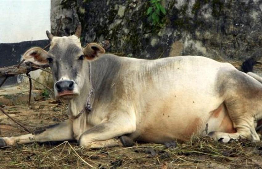 cow, haryana, boxer, women boxer, ml khattar, boxing championship, cow prize, haryana goverment, haryana minister, haryana news, Hindi news, rohtak news, News in Hindi, Jansatta