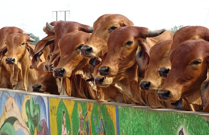 Cow Buried, Cow Death, Cow Death in Aligarh, Cow Vigilants, Protest, Hindu Yuva Vahini, Bajrang Dal, Hindu Yuva Vahini, Aligarh, Bulandshahr, UP, Uttar Pradesh, State News, Hindi News