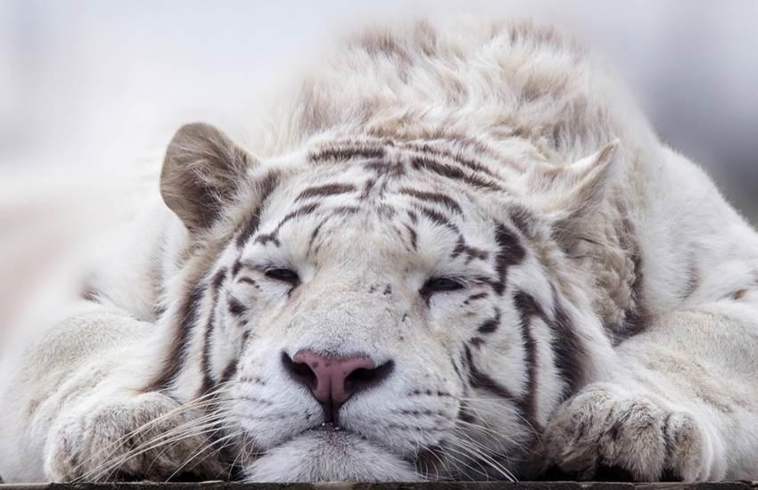 Tiger, White Tiger, Delhi, Vijay, Died, Death, Cell, Kanan Pendari Zoological Garden, Kanan Pendari Zoo, Cobra, Snake, Bite, Autopsy Report, Raebareli, Uttar Pradesh, Raipur, Bilaspur, Chhattisgarh, State News, Hindi News