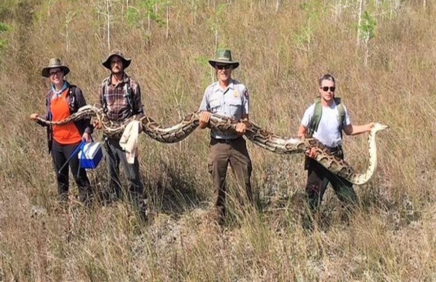 snake, python, florida
